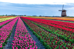 pic_5-Tage Holland Tulpen Tour